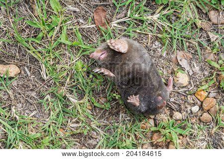 A mole in a classic defensive position.