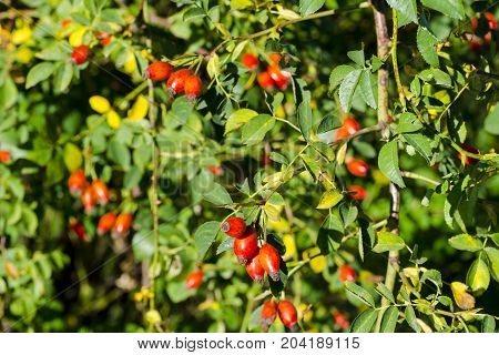 Photo of shrubs of rosehip in the wild on a sunny autumn day