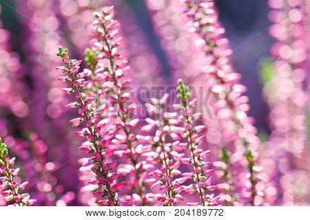 Surreal landscape flowering Heather flowers Calluna vulgaris. Small violet petals plant. soft purple background