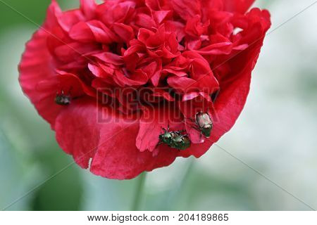 Japanese beetles on the petals of a red flower.