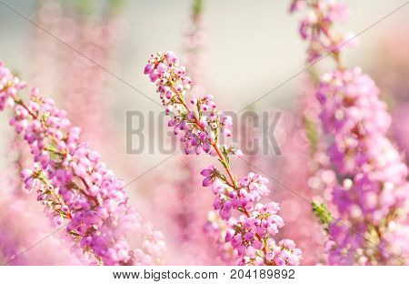 Surreal landscape flowering Erica tetralix small pink lilac plants, shallow depth of field, selective focus photography.