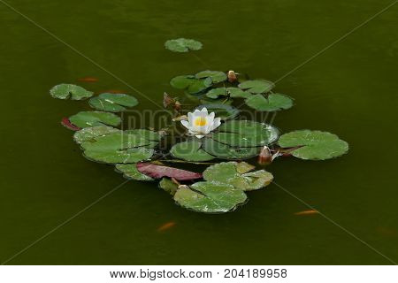 Water lily aquatic plant with white flower floating in pond with red fish.