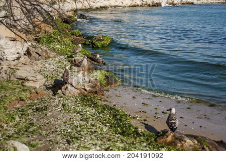 seagulls on the sand shore with stones and ooze sea in the background