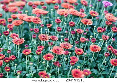 Red chrysanthemum flowers field background. Floral still life with many colorful mums. Selective focus photo.