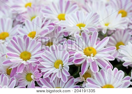 Violet chrysanthemums floral background. Colorful white pink yellow mums flowers close-up photo. Selective focus.