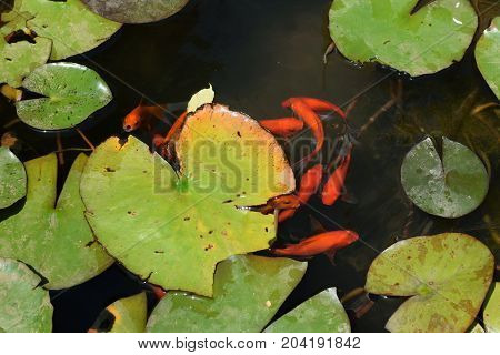 Pond with red fish and water lily plant leaves.