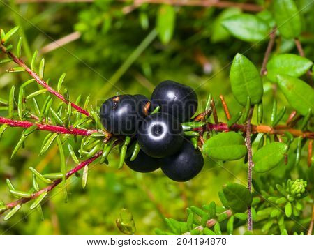 Black crowberry Empetrum nigrum berries on branch with needle-like leaves close-up selective focus shallow DOF.