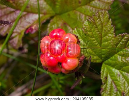 Riping cloudberry or Rubus chamaemorus at swamp in wild berry macro selective focus shallow DOF.