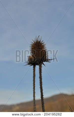 Beautiful uncultivated plant in the nature but is very spiky