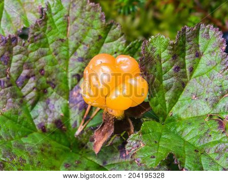Ripe cloudberry or Rubus chamaemorus at swamp in wild berry macro selective focus shallow DOF.