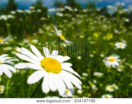 photographed close-up daisy flower with white petals on a background of green grass