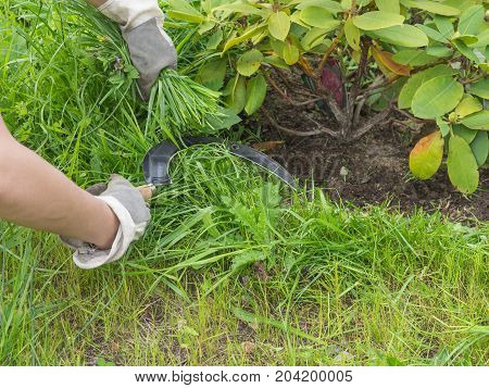 woman hands worknig gardening with sickle and cut grass