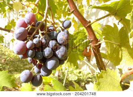Grapes on a branch of a large juicy fresh ripe on a sunny bright day healthy and nutritious food close-ups