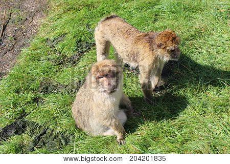 Funny monkeys - Givskud zoo safari - Jylland, Denmark