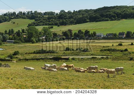 Cows Grazing On Grassy Field On A Bright Sunny Day. Normandy, France. Cattle Breeding And Industrial