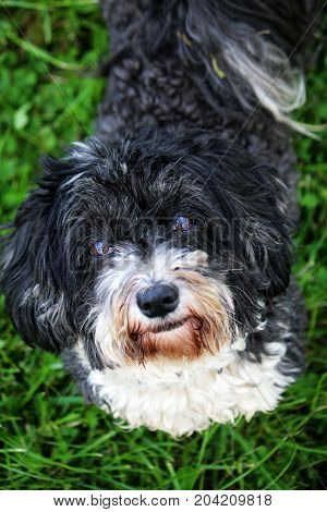 Havanese Is Standing In The Garden And Looking Up To The Camera