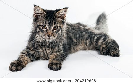 Fluffy kitten Maine Coon on a white background. Brushes on the ears and Fluffy tail. Nice little kitten.