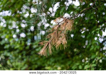 brown fir needle on tree with green background with light