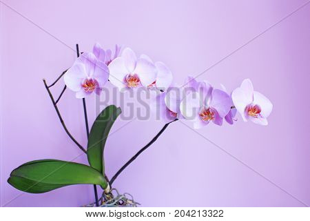 beautiful branch of the blooming pink orchid in the lilac room