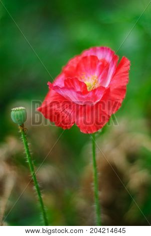 Blooming red poppy and not bursting poppy, on a blurred background