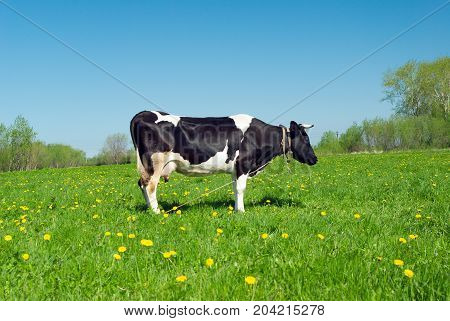 cows in pasture.An inquisitive cow in a scenic field poster