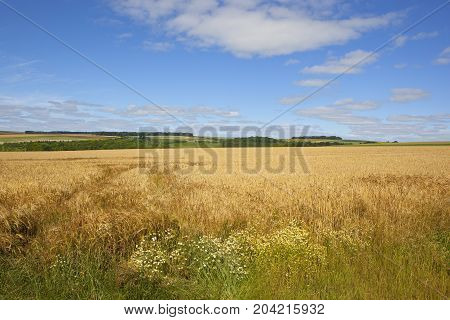 Golden Barley And Wildflowers