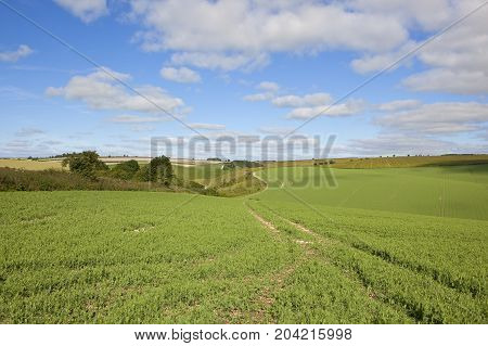 Pea Fields With Tyre Tracks