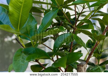 green leaf from xanthostemon chrysanthus golden penda tree myraceae from austrialia