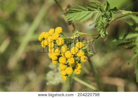 Medicinal herbs: Yellow inflorescences of tansy flowers (Tanacetum vulgare)