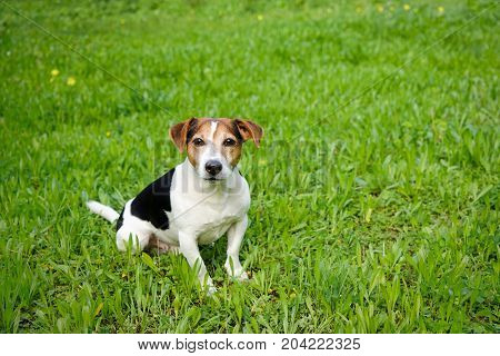 Cute Jack Russell Terrier dog sits on the green grass and looks at the camera