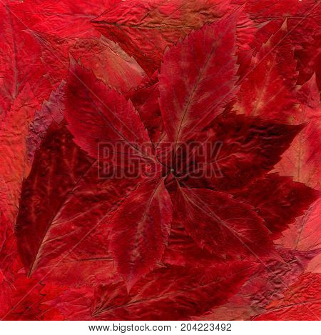 Background Laid Out Of Dried Bright Red And Burgundy Leaves From The Bush Plant