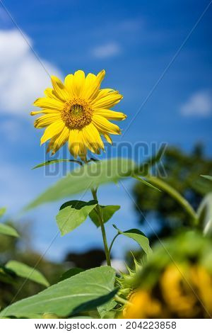 sunflower blooming with blue sky background in sunflower field