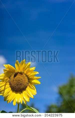 sunflower blooming with blue sky background and tree