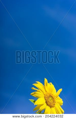 sunflower blooming with blue sky background side view