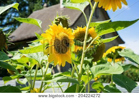 sunflower with bee and old house with blue sky