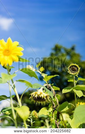 withered sunflower in front of blooming sunflower with blue sky