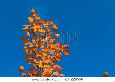 Red Autumn Aspen Leaves Against The Sky