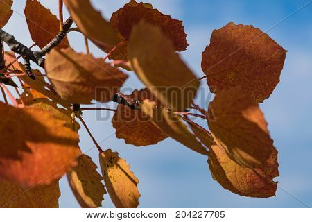 Foliage of an aspen against the sky in the autumn