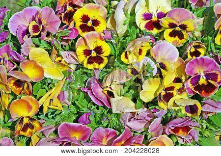 Multicolor Pansy Flowers (viola Tricolor) Closeup