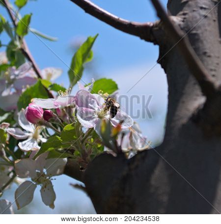 Bee during work on apple flower collecting nectar