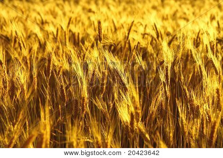 golden dry wheat before harwest