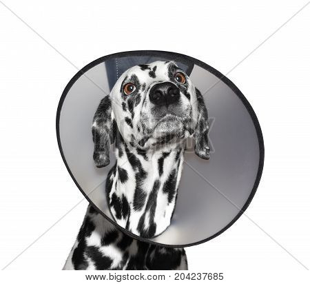 Sick dalmatian dog wearing a protective collar - isolated on white background