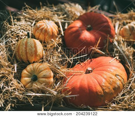 Still-life with several orange and variegated pumpkinslaying on dry thatch after harvesting on sunny autumn day