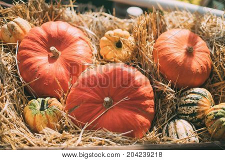 Still-life with multiple orange beige and variegated pumpkinslaying on dry thatch after harvesting on sunny autumn day; shallow depth of field