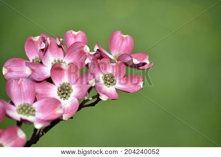 A Macro shot of red dogwood blooms