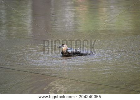 great tailed grackle taking a bath in a shallow pool