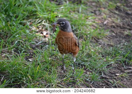 American robin looking around while holding lunch in its mouth