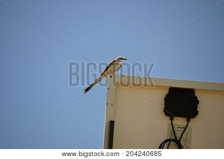scissor tailed fly catcher (oklahomas state bird) perched on a digital highway sign