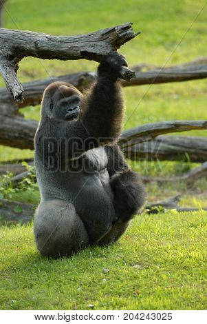 An adult male gorilla photographed relaxing and hanging onto a branch.