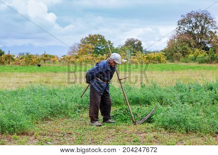 Old Man In Traditional Ukranian Clothes Mowing Grass In A Me Meadow